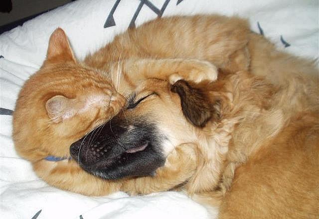 Рыжий кот обнимает собаку за морду. Фото