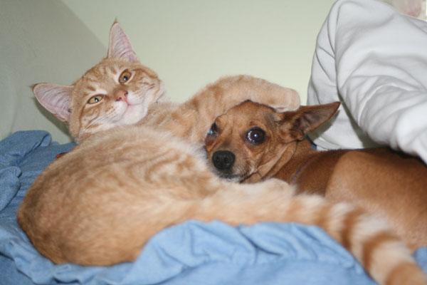 Рыжий кот обнимает собаку. Фото