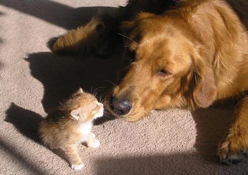 Дружба животных: собака и котенок. Фото