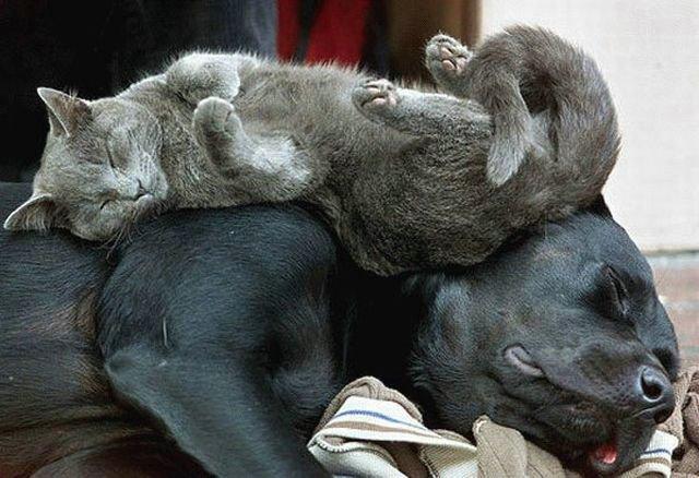 Дружба животных: кот спит на собаке. Фото