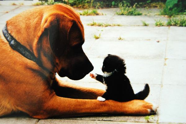 Дружба животных: котенок заигрывает с собакой. Фото
