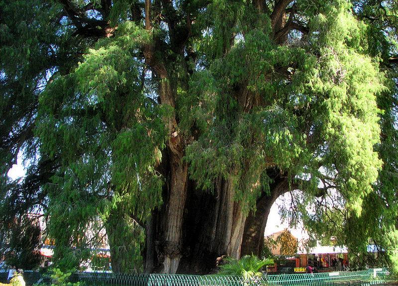 Дерево с самым толстым стволом - Арболь дель Туле. Фото