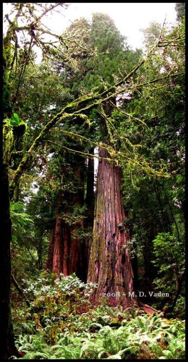 Секвойя Гиперион - самое высокое дерево из ныне существующих. Фото