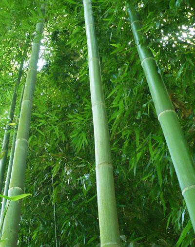 Самое быстрорастущее растение - японский бамбук мадаке. Фото