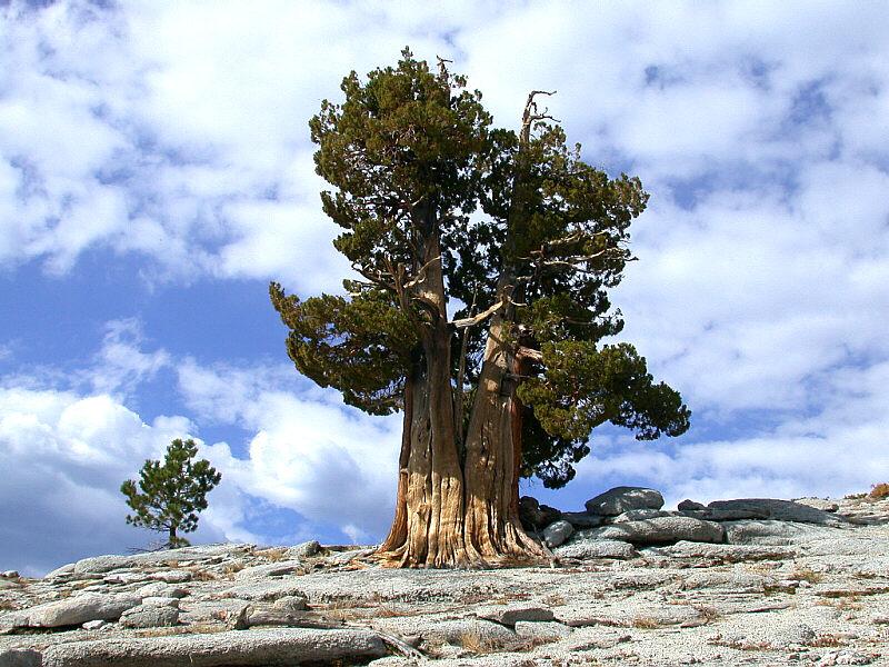самое долгоживущее дерево сосна остистая межгорная. фото