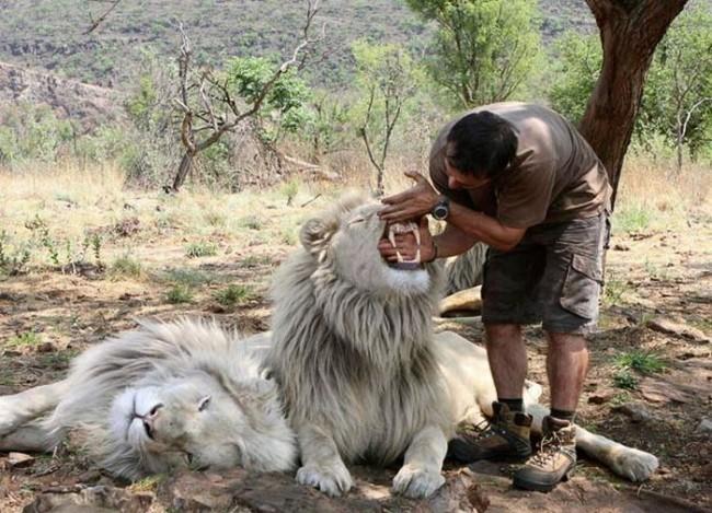 Кевин засовывает руку в пасть льву. Фото