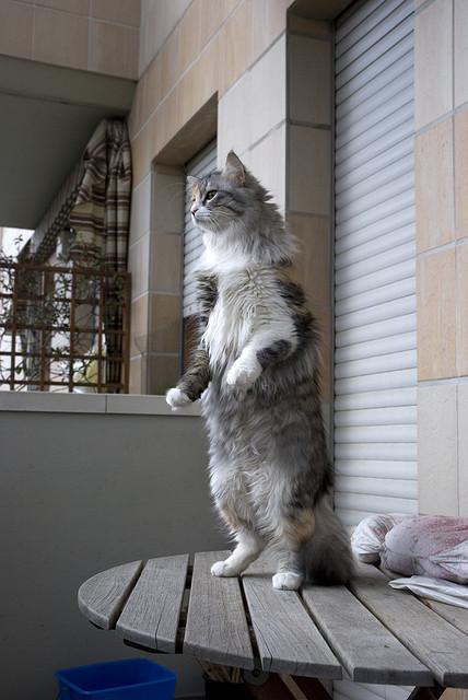 Кот прямоходящий. Фото