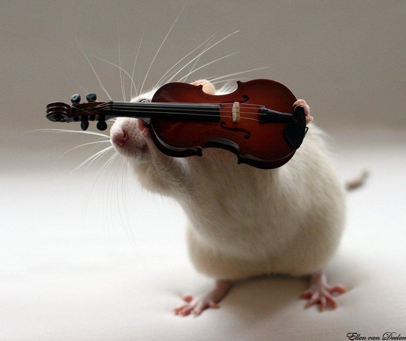 Крыса играет на скрипке. Эллен ван Дилен. Фото