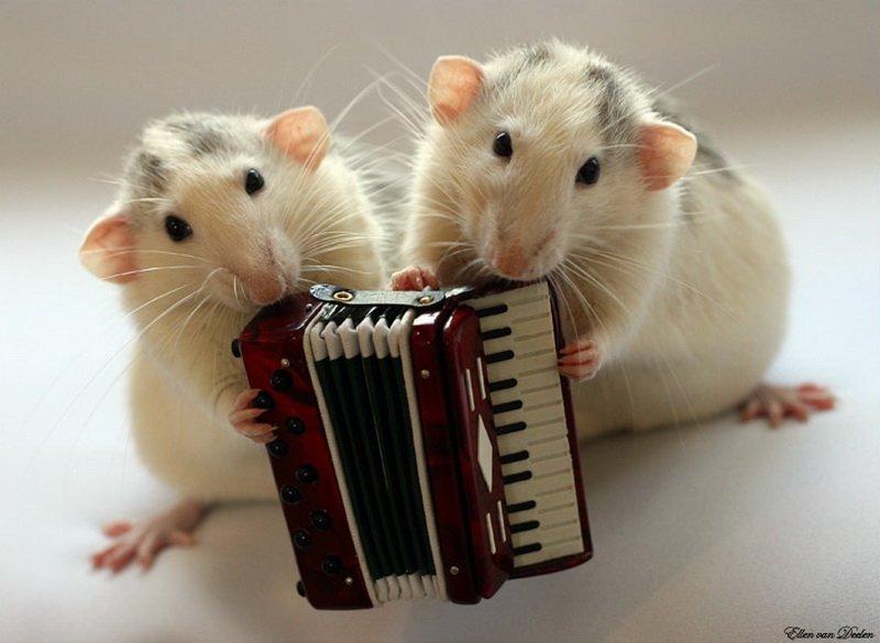 Крысы с аккордеоном.