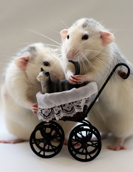 Крысы-родители. Эллен ван Дилен. Фото