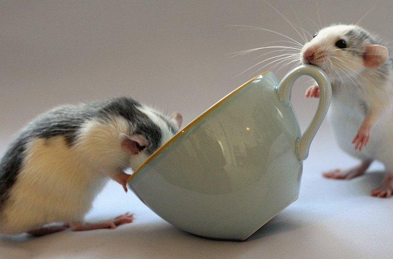 Крысиное чаепитие. Эллен ван Дилен. Фото