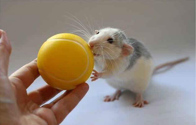 Крыса позирует с мячиком. Эллен ван Дилен. Фото