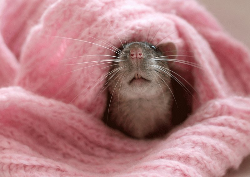 Мордочка крысы крупным планом. Эллен ван Дилен. Фото