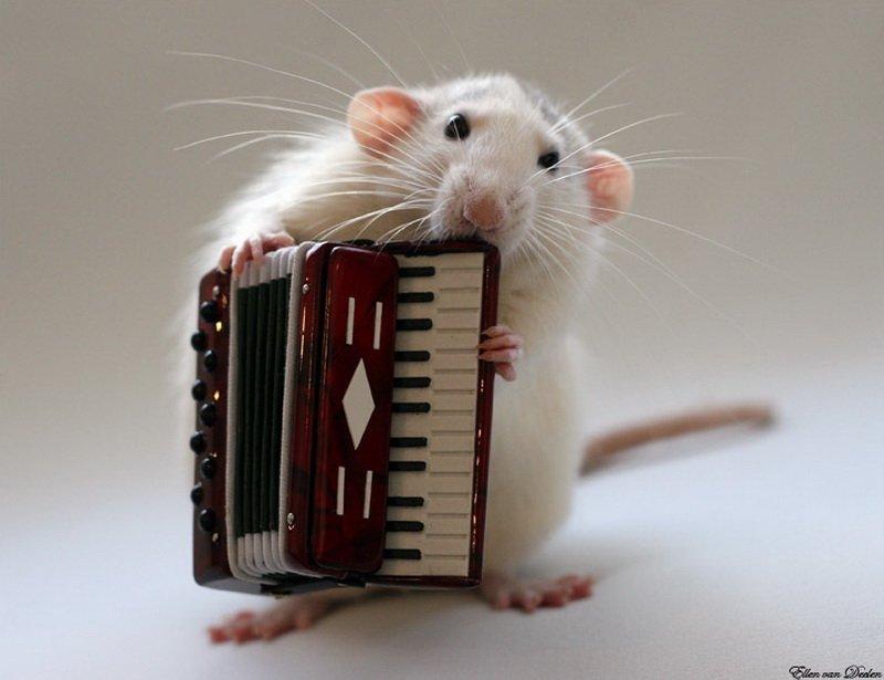 Крыса играет на аккордеоне. Эллен ван Дилен. Фото