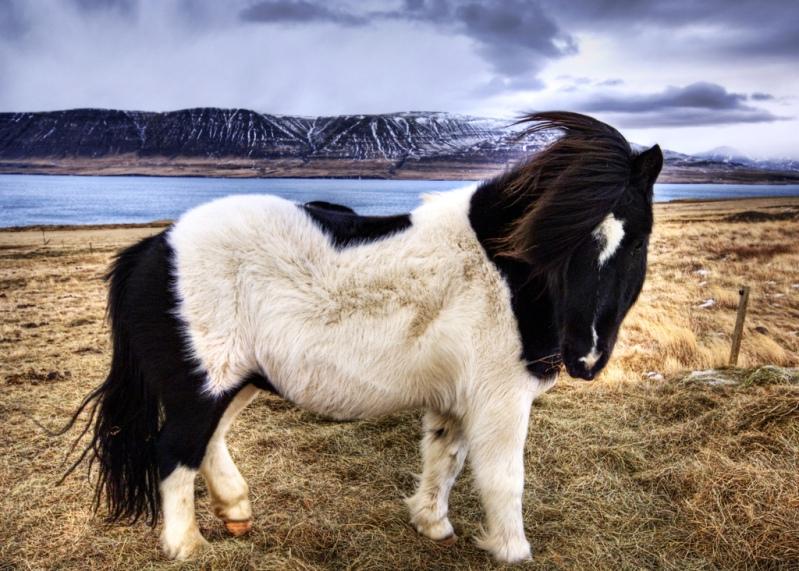 Миниатюрная исландская лошадка. Фото