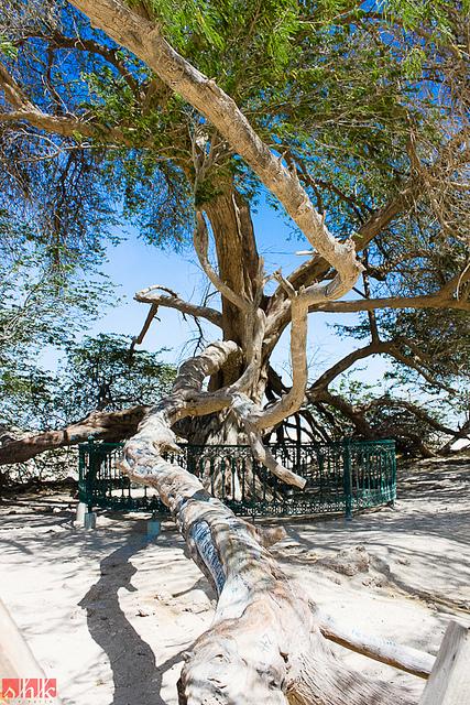 Ветви Дерева жизни. Бахрейн. Фото