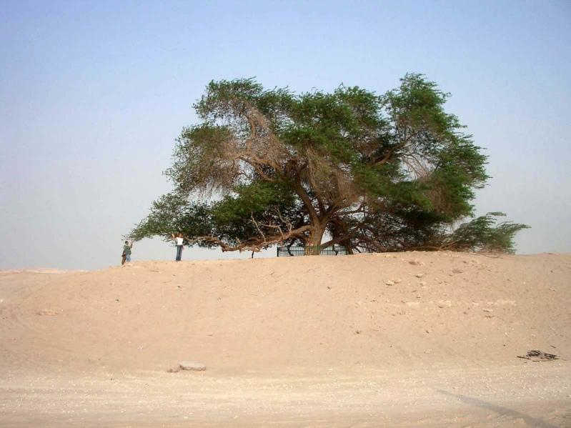 Дерево жизни утром. Бахрейн. Фото