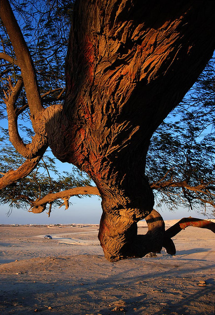 Извилистая ветка Дерева жизни. Бахрейн. Фото