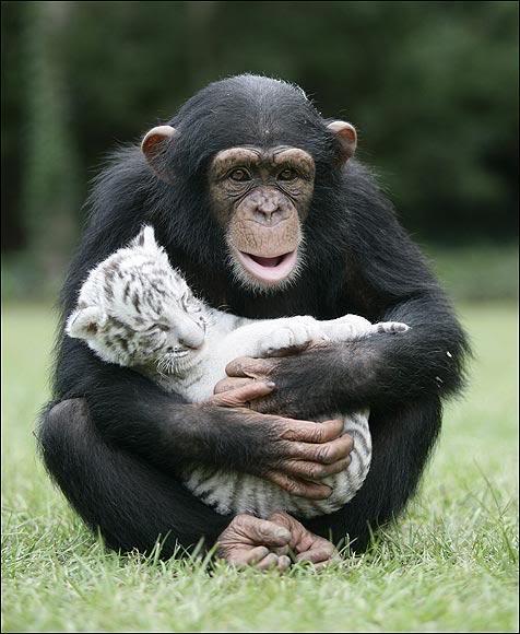 Шимпанзе Аджанта баюкает белого тигренка. Фото