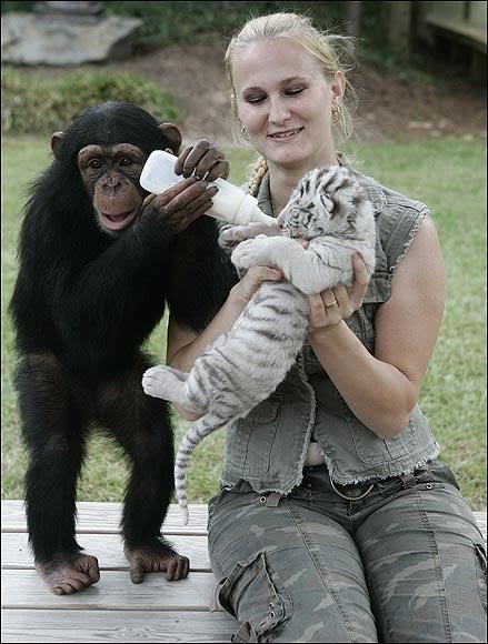 Шимпанзе Аджанта помогает Чайне кормить тигренка. Фото