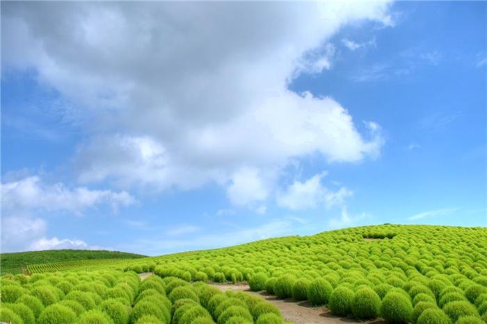 Японский парк Хитачи в июле. Поля кохии. Фото
