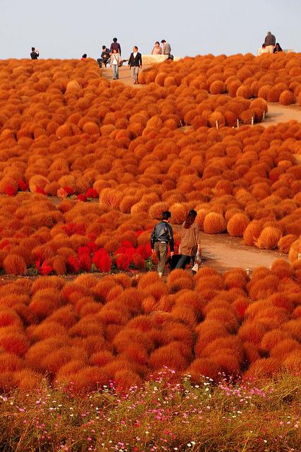 Японский парк Хитачи осенью. Поля кохии. Фото