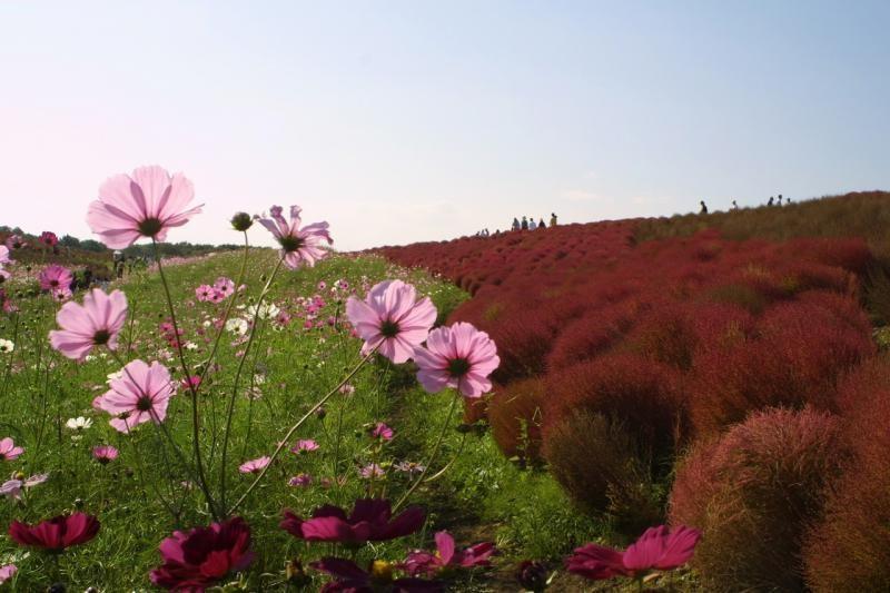 Японский парк Хитачи осенью. Кохии и космеи. Фото