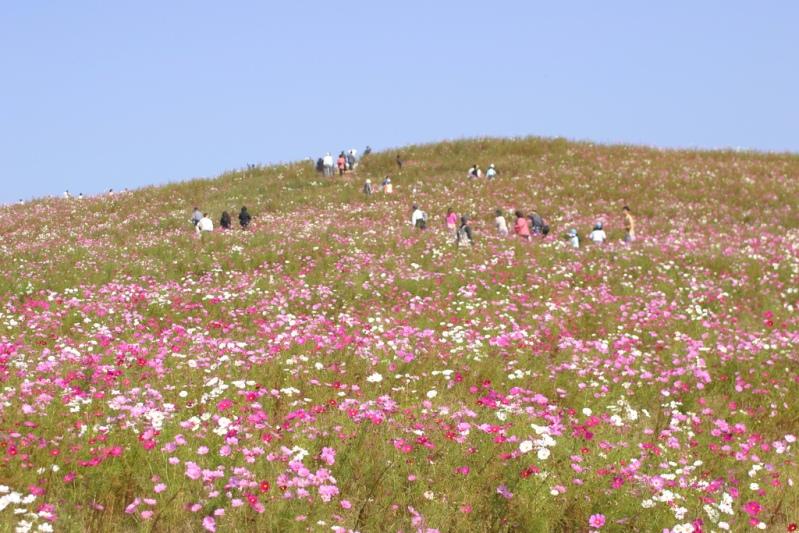 Японский парк Хитачи в октябре. Поля космеи. Фото