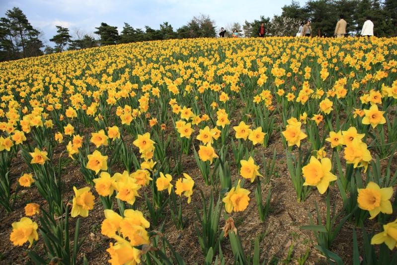 Японский парк Хитачи. Желтые нарциссы. Фото
