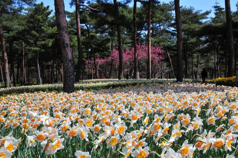 Японский парк Хитачи весной. Белые нарциссы. Фото
