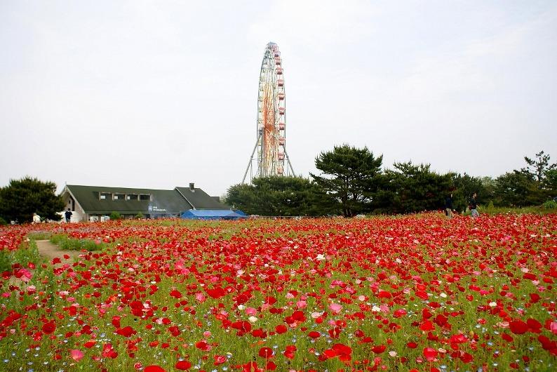 Японский парк Хитачи в июне. Маки. Фото