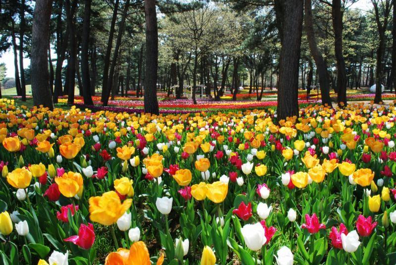 Японский парк Хитачи весной. Тюльпаны. Фото