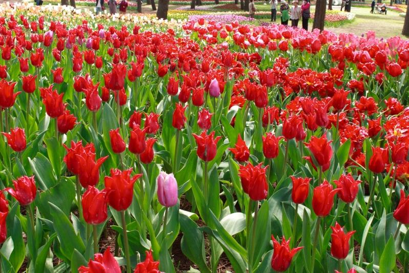 Японский парк Хитачи весной. Красные тюльпаны. Фото