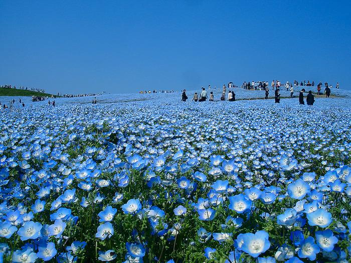 Японский парк Хитачи в мае. Цветение немофил. Фото