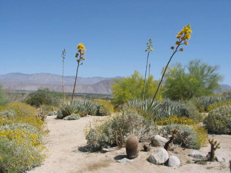 Цветок агавы в пустыне Анза Боррего. Фото