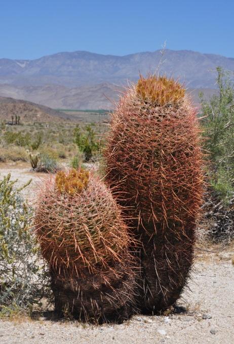 Разновидность ферокактуса в пустыне Анза Боррего. Фото