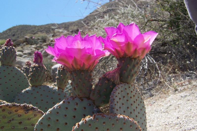 Опунция низовая в пустыне Анза Боррего. Фото