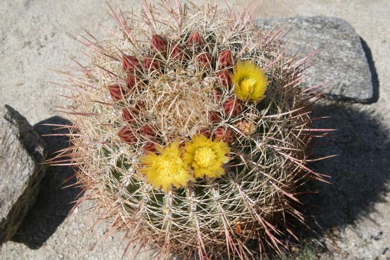 Бочковой кактус в пустыне Анза Боррего. Фото