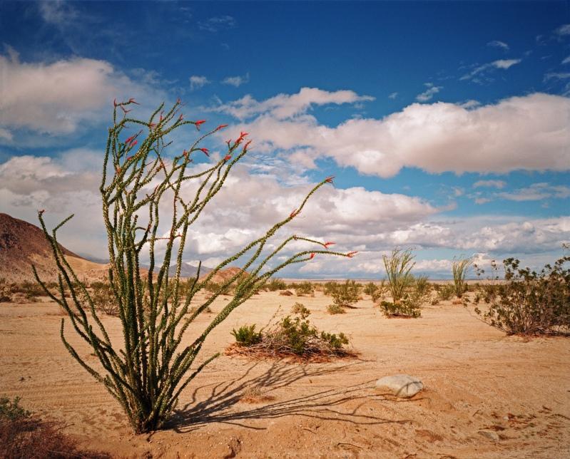 Цветение окотийо в пустыне Анза Боррего. Фото