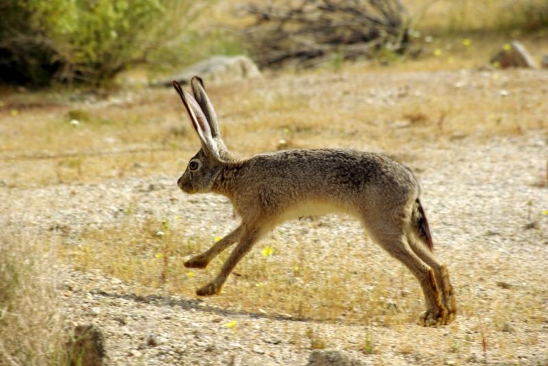 Заяц пустыни Анза Боррего. Фото