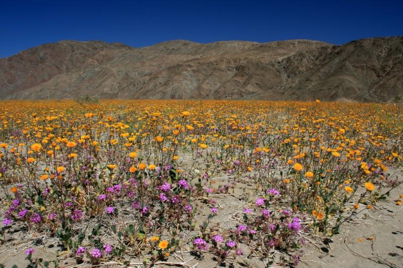Поле цветов в пустыне Анза Боррего. Фото
