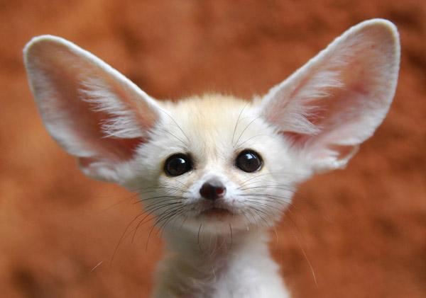 Щенок фенека. Фото / fennec fox photo