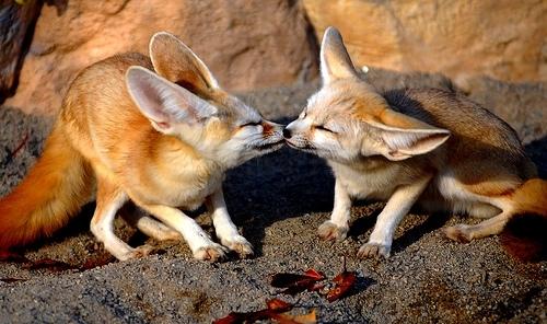 Фенеки целуются. Фото