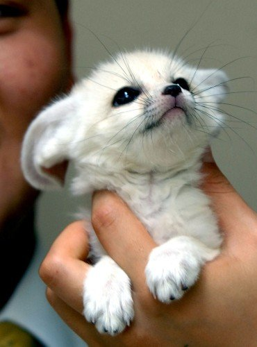 Детеныш фенека. Фото / fennec fox photo