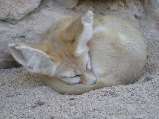 Фенек спит. Фото
