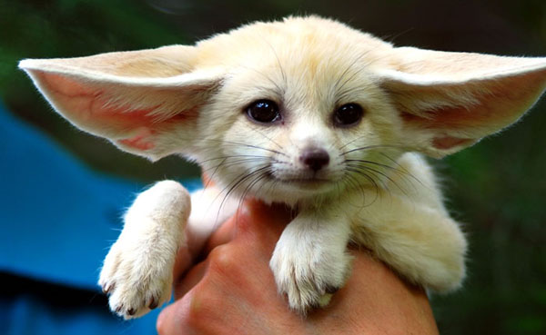Щенок фенека. Фото / fennec fox photo