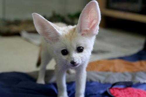 Домашний Фенек. Фото / fennec fox photo