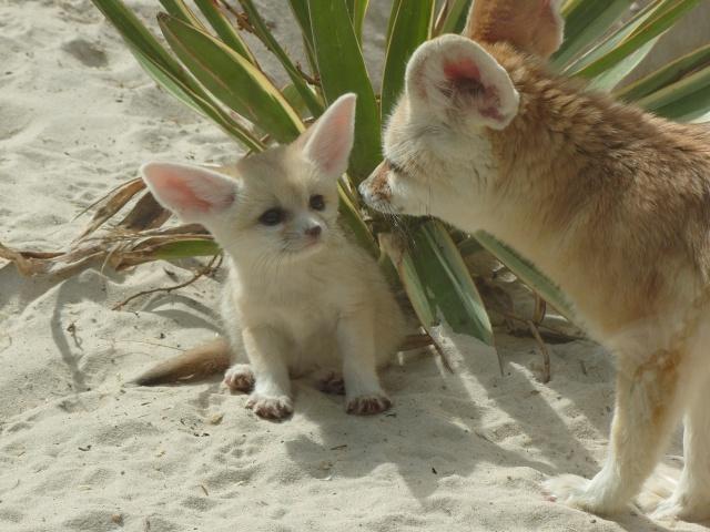 Фенек с детенышем. Фото / fennec fox photo