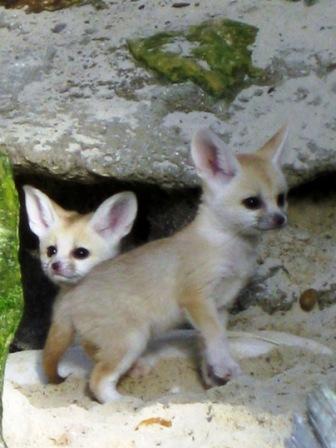 Детеныши фенека. Фото / fennec fox photo