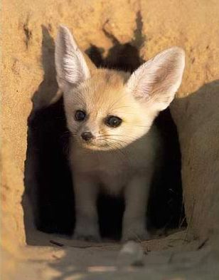 Фенек выглядывает из своей норы. Фото / fennec fox photo